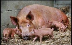 Pigs at Bill Quay Farm