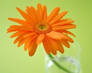 Orange Gerbera on a green background