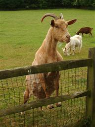 Goat looking over gate or fence